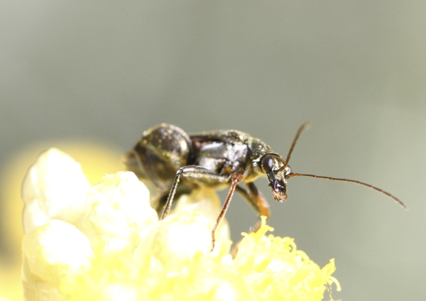 Aedema nobilis sur Helichrysum italicum