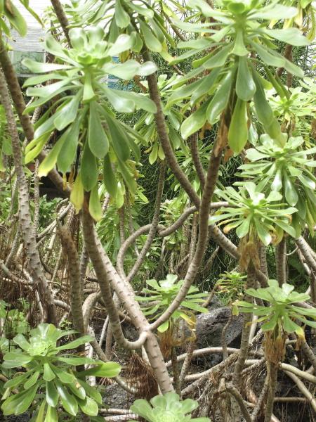 Aeonium arboreum détail