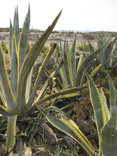 Agave americana variegata