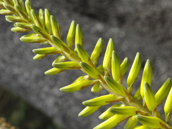 Aloe barbadensis détail