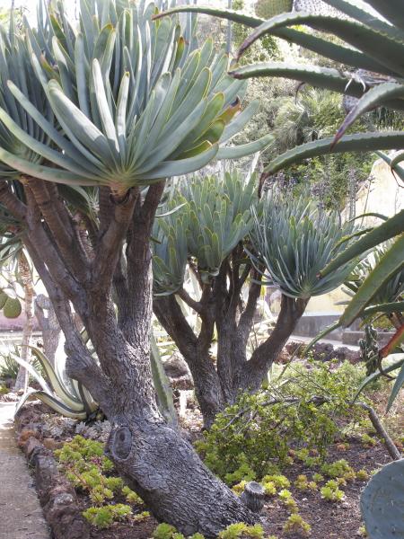 Aloe plicatilis madère