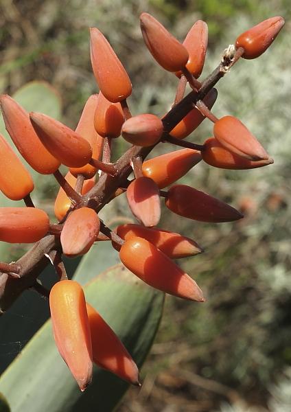 Aloe plicatilis, floraison