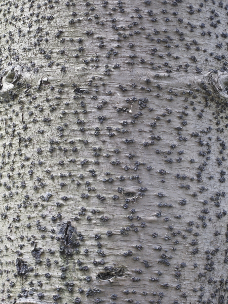 Araucaria heterophylla écorce