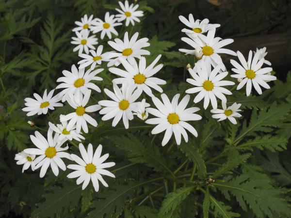 Argyranthemum pinnatifidum ssp pinnatifidum