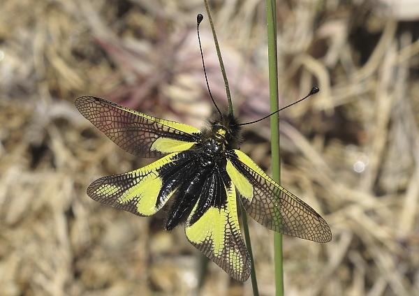 Ascalaphus libellidoides femelle