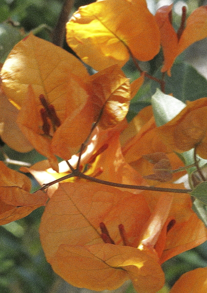 Bougainvillea orange