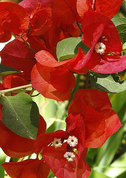 Bougainvillea rouge