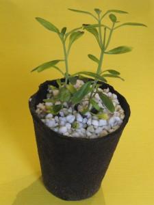 Bouture Salvia x devantville à l'étouffée