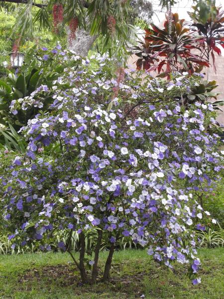Brunsfelsia pauciflora