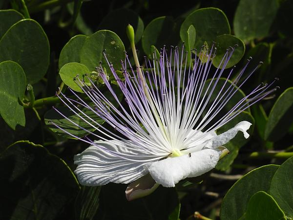 Capparis orientalis fleur