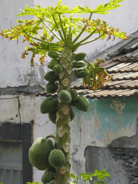 Caraca papaya Jardim do Mar