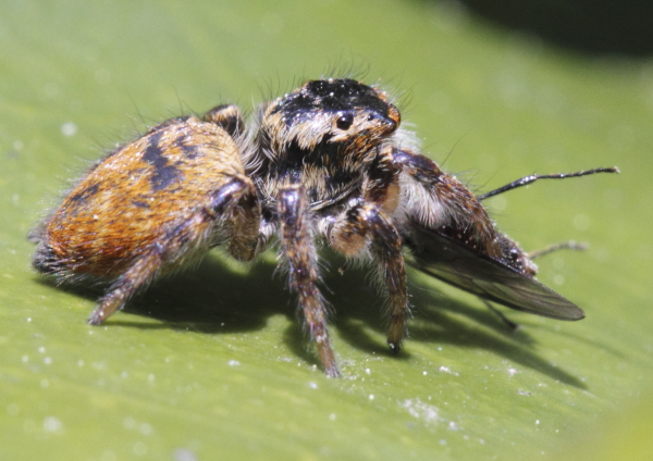 Carrhotus xanthogramma