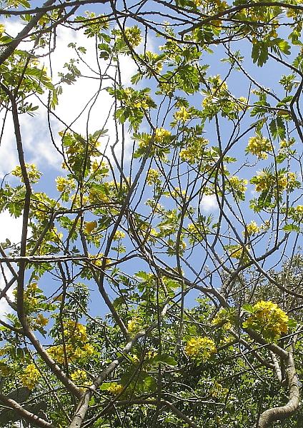 Cassia fistula floraison