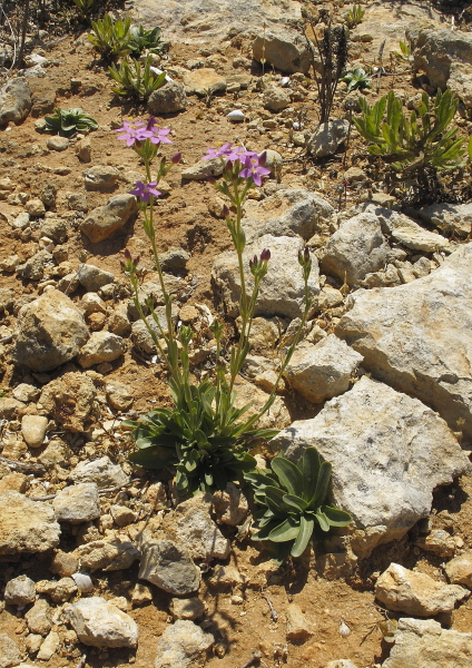 Centaurium erytraea