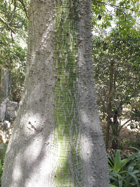 Chorisia speciosa tronc juvenile