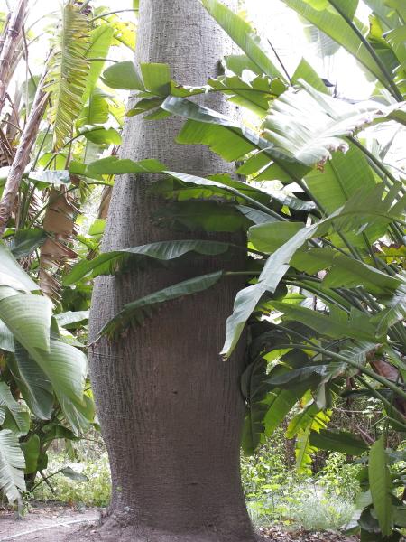 Chorisia speciosa tronc