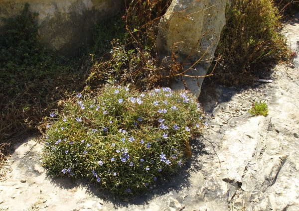 Cichorium spinosum plante
