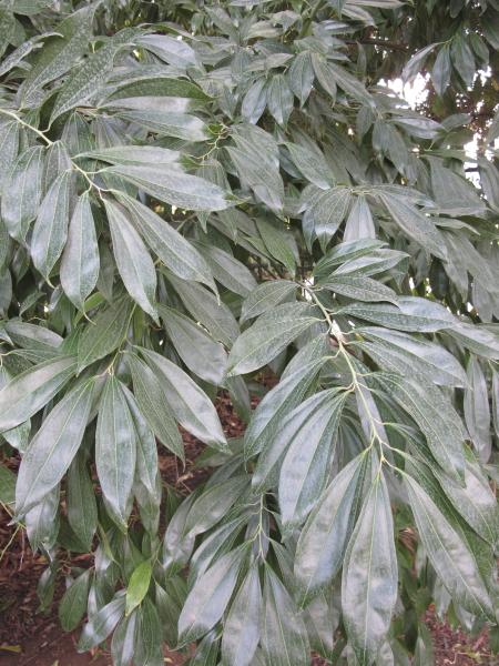 Cocculus laurifolius feuillage