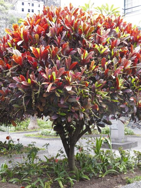 Codiaeum variegatum madere