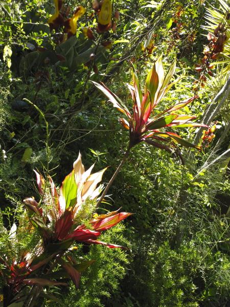 La flore et la faune de mad re jardinsud - Cordyline feuilles qui jaunissent ...