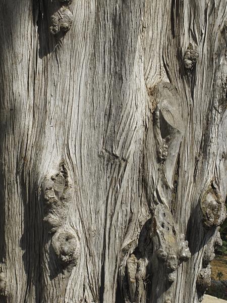 Cupressus sempervirens pyramidalis ecorce