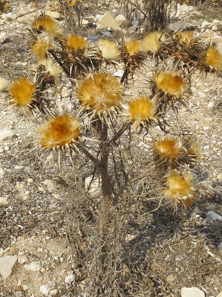 Cynara cardunculus en automne