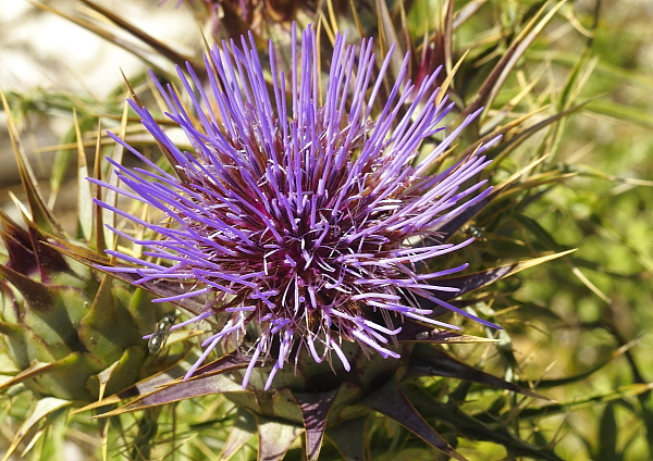 Cynara cardunculus fleur