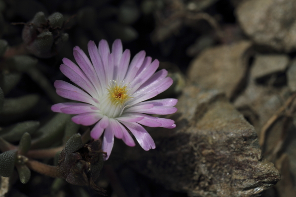 Delosperma x Beaufort west