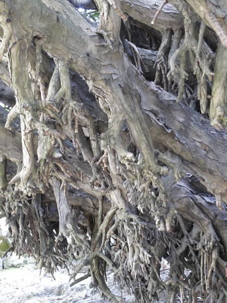 Dracaena draco tronc