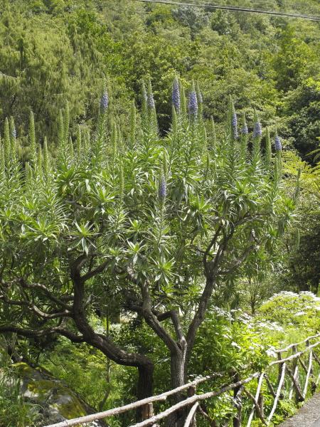 Echium candicans Ribeiro Frio