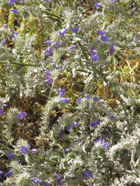 Echium plantagineum à feuillage gris ?