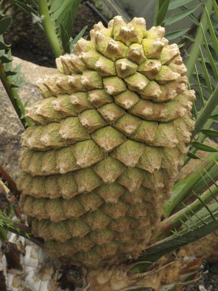 Encephalartos aemulans, cône