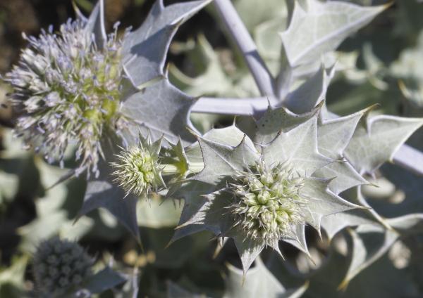 Eryngium maritimum en fleurs