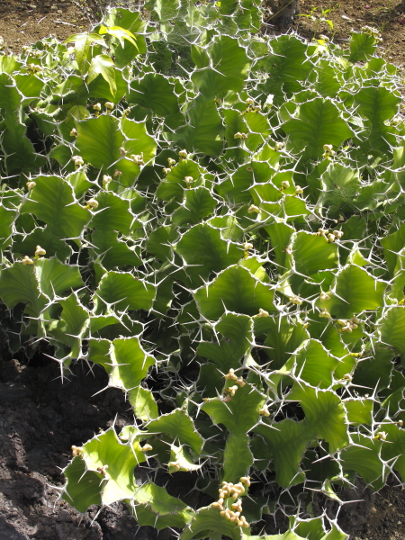 Euphorbia grandiformis