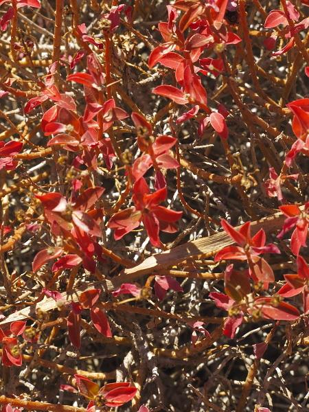 Euphorbia melitensis detail