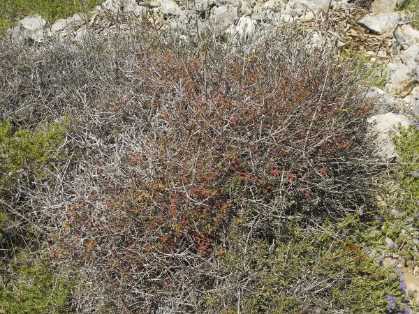 Euphorbia melitensis effeuillee
