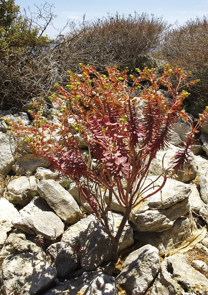 Euphorbia melitensis jeune sujet