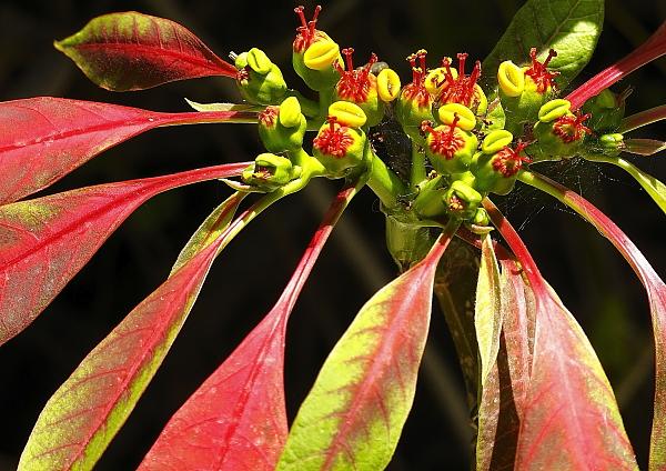 Euphorbia pulcherina