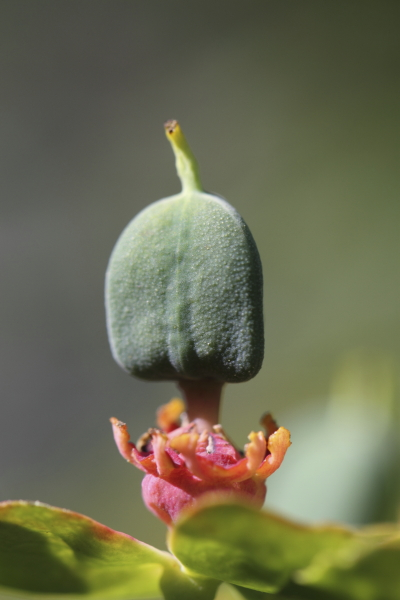 Euphorbia rigida fructification