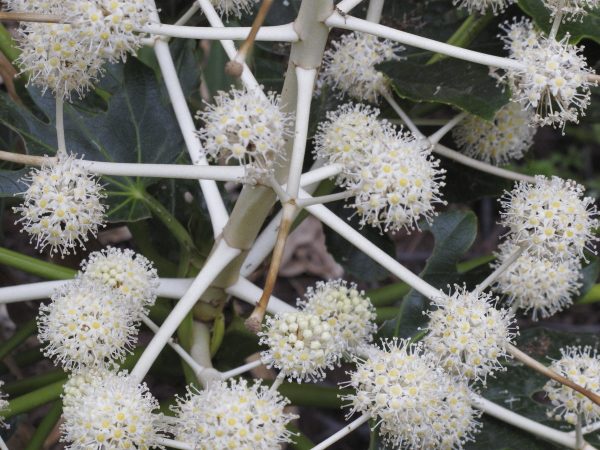 Fatsia japonica, inflorescence