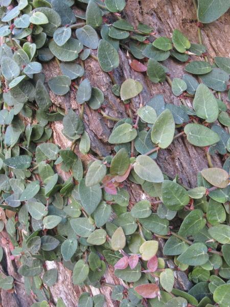 Ficus pumila feuillage juvénile