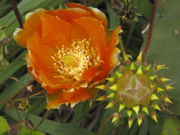 Fleur d'Opuntia