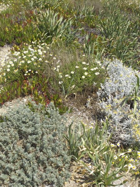 Flore typique des sables maritimes