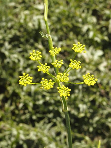 Foeniculum vulgaris