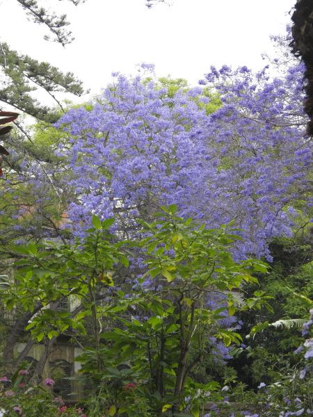Funchal jardin Joao Francisco jacaranda