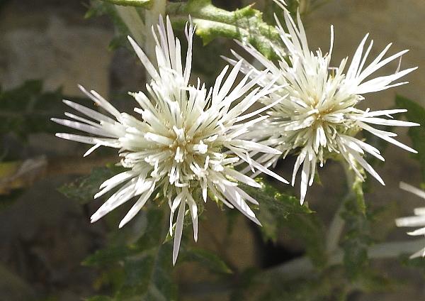 Galactites tomentosa fleur