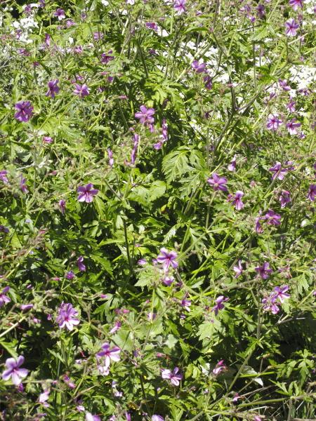 Geranium sp rubescens à confirmer