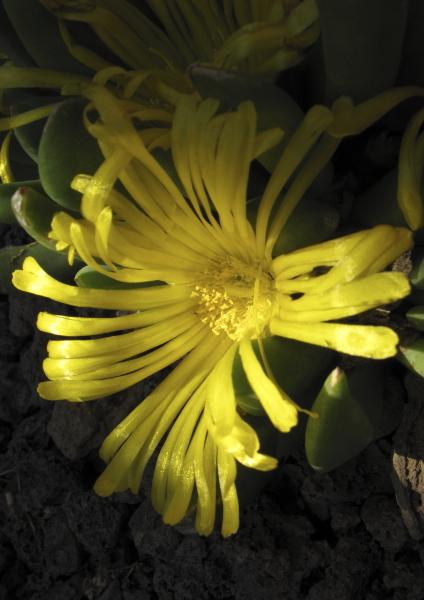 Glottiphyllum parvifolium fleur