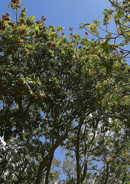 Harpulia pendula et Cassia fistula