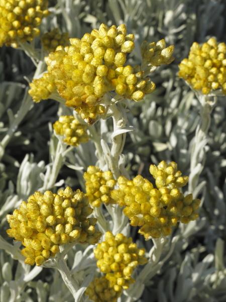 Helichrysum melitense Dwerja detail fleur